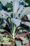 Black Tuscan kale plant. Black Tuscan- italian kale variety Stock Images