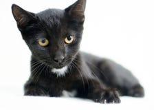 Black Tuxedo Kitten. Studio Adoption Portrait Animal Shelter Humane Society stock photography