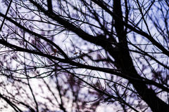 Black twigs with violet sky Stock Image