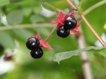 Black Twinberries Stock Photography