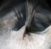 Closeup to mane of a donkey Royalty Free Stock Images