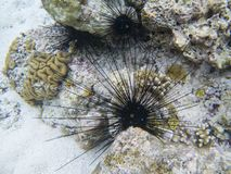 Black urchins with long needles. Sea threat. Coral reef underwater photo. Tropical sea shore snorkeling or diving.