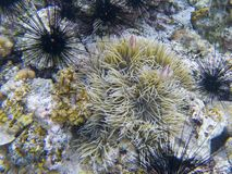 Black urchins and orange clownfish in actinia. Coral reef underwater photo. Tropical sea shore snorkeling stock image