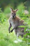 black vände kängurun mot Arkivfoto