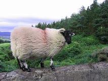 black vänt mot irländskt RAM fotografering för bildbyråer