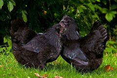 A black variant of a hen of the breed Hedemora. An old, durable and healthy breed in Sweden royalty free stock photos
