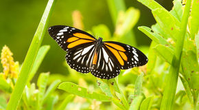 Black Vein Tiger Butterfly Royalty Free Stock Photography
