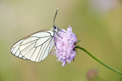 Black veined butterfly. Black-veined butterfly (Aporia Crataegi) on pink scabious flower Royalty Free Stock Photos