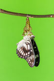Black-veined butterfly emerging from pupal Stock Photo