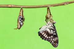 Black-veined butterfly emerging from pupal Royalty Free Stock Photography