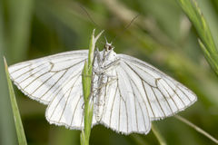 Black-veined Moth in natural habitat / Siona lineata Royalty Free Stock Photo