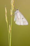 The Black-veined Moth ;Siona lineata Stock Image