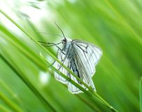 The Black-veined Moth sitting in grass Royalty Free Stock Photos