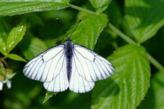 Black-veined thorn butterfly Stock Image