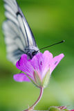 Black-veined thorn butterfly on meadow geranium.  Stock Images