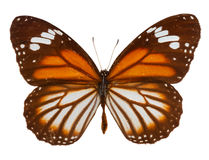 Black veined tiger butterfly Stock Image