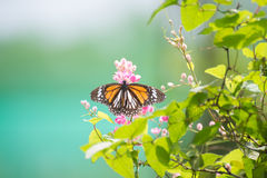 Black Veined Tiger Butterfly perching on pink flowers Stock Photo