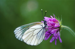 Black veined white Stock Image
