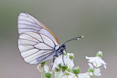 Black-veined white. Perched on flowers in the spring when the sun was setting. Castilla y León, Spain Stock Images