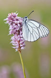 Black-veined White Stock Photo
