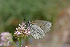 Black-veined White (Aporia crataegi) Royalty Free Stock Photos