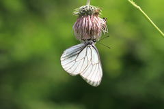 Black-veined White Royalty Free Stock Photography