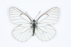 Black veined white  Aporia crataegi, isolated on white Stock Photos
