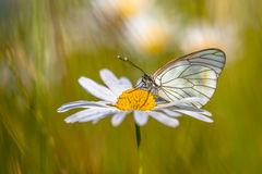 Black veined White Royalty Free Stock Photo