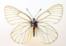 The black-veined white. (Aporia crataegi) specimen isolated Royalty Free Stock Photos
