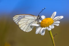 Black veined White blue sky Stock Images