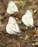 Black-veined white butterflies Stock Photo