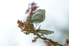 Black-veined white butterflies Royalty Free Stock Photo