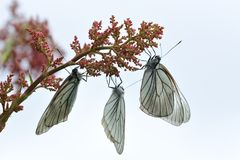 Black-veined white butterflies. Close up photograph of black-veined white butterflies on sky background Stock Photography