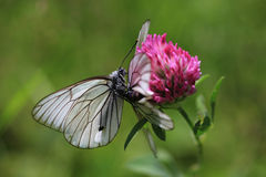 Black-veined white butterflies Stock Image
