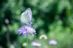 Black-veined White butterfly, Aporia crataegi Stock Photography