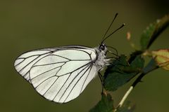 Black-veined White. Butterfly (Aporia crataegi) with natural green background Stock Images