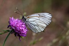 Black-veined White. Butterfly (Aporia crataegi) on a flower Royalty Free Stock Photo
