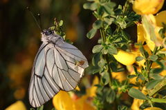 Black veined white butterfly Stock Photography