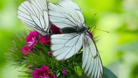 Black veined white butterfly. Aporia crataegi Black-veined white butterfly mating on Carnation flower stock footage