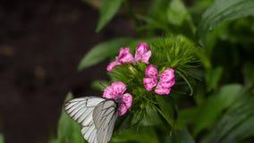 Black veined white butterfly. Aporia crataegi, black veined white butterfly in wild. White butterflies on carnation flower stock footage