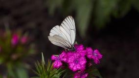 Black Veined White butterfly. Aporia crataegi, Black Veined White butterfly in wild. White butterflies on Carnation flower stock video