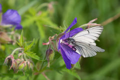 Black-veined White butterfly Royalty Free Stock Photography