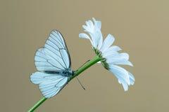 Black-veined white butterfly. Aporia crataegi on flower Royalty Free Stock Image