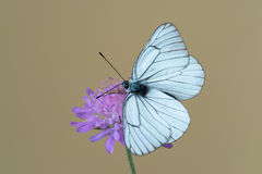 Black-veined white butterfly Aporia crataegi on flower. Black-veined white butterfly at Knautia arvensis, commonly known as field scabious Stock Photography