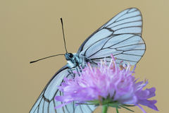 Black-veined white butterfly Aporia crataegi on flower. Black-veined white butterfly at Knautia arvensis, commonly known as field scabious Stock Photo
