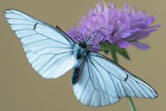 Black-veined white butterfly Aporia crataegi on flower Royalty Free Stock Photography