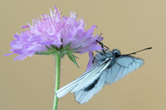 Black-veined white butterfly Aporia crataegi on flower Royalty Free Stock Image