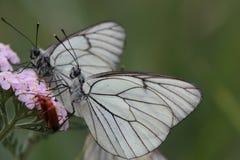 Black-veined White butterfly - Aporia crataegi Royalty Free Stock Image