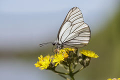 Black-veined White butterfly. Aporia crataegi on a yellow flower Stock Images