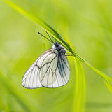 Black-veined White butterfly on bright green background. Black-veined White butterfly Aporia crataegi in natural habitat on bright green background Stock Images